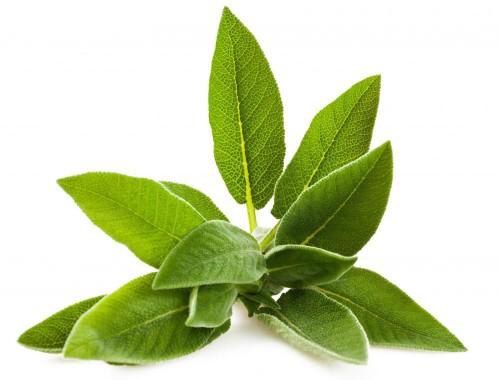Salvia officinalis avatar