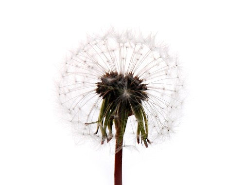 dandelion-avatar